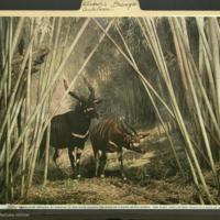 Bongo, clipping, Artiodactyla Antelope folder