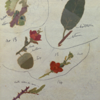 Leaves and flowers, botanical illustration for use in Greater Koodoo Group, Akeley Hall of African Mammals