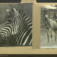 Zebra in zoo, Perissodactyla Equidae folder