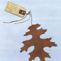 Synthetic scarlet oak leaf with tag, for use in Oak Hickory Group, Forestry Hall