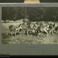 Blacktail deer, Hardy Island, British Columbia, photograph mounted to card
