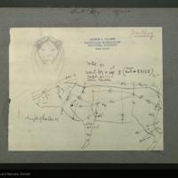 Wart hog specimen measurement chart, for use in Ostrich - Wart hog Group, Akeley Hall of African Mammals
