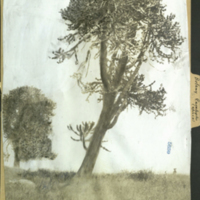 Eucalyptus tree, photograph mounted to botany of Africa folder