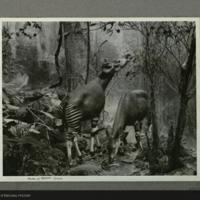 Okapi Group, model, Akeley Hall of African Mammals