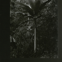Palm tree, field photograph mounted to card, for use in Gorilla Group, Akeley Hall of African Mammals