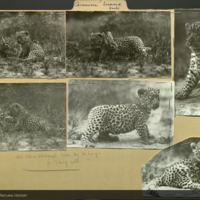 Leopard cub, fawn, photographs mounted to folder