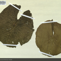 Lutos plant specimens for use in Upper Nile Region Group, Akeley Hall of African Mammals