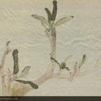 Tree branch, botanical illustration for use in Water Hole Group, Akeley Hall of African Mammals
