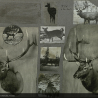 Elk photographs, illustrations and clippings for use in Elk Group, Hall of North American Mammals