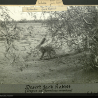 Desert Jack Rabbit, Arizona, photograph mounted to card, Rodentsia folder