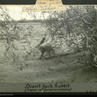 Desert Jack Rabbit, Arizona, photograph mounted to card, Rodentsia folder