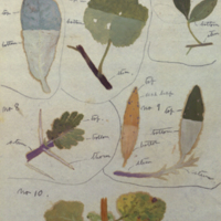 Leaves, botanical illustration for use in Greater Koodoo Group, Akeley Hall of African Mammals