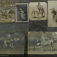 Zebras, photographs mounted to card, for use in Water Hole Group, Akeley Hall of African Mammals