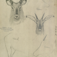 Waterbuck, drawing for use in Water Hole Group, Akeley Hall of African Mammals