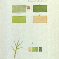 Nile Grass, botanical illustration with colors noted, for use in Upper Nile Region Group, Akeley Hall of African Mammals