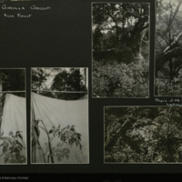 Kion Forest, field photographs mounted to card, for use in Gorilla Group, Akeley Hall of African Mammals