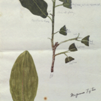 Fig plant, botanical illustration, for use in Lion Group, Akeley Hall of African Mammals