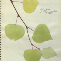 Cottonwood, botanical illustration for use in Alaska Moose Group, Hall of North American Mammals