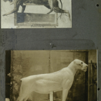 Lion molds, photographs mounted to card, for use in Lion Group, Akeley Hall of African Mammals