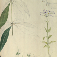 Plants, botanical illustration with colors noted, for use in Leopard Group, Hall of Asian Mammals