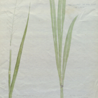 Grass, botanical illustration for use in Black Rhinoceros Group, Akeley Hall of African Mammals