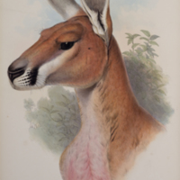 Osphranter rufus from Gould's The mammals of Australia