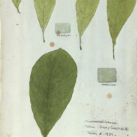 Leaves, botanical illustration with colors noted, for use in Chimpanzee Group, Akeley Hall of African Mammals