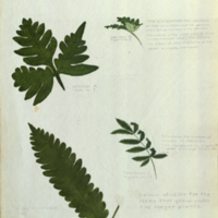 Ferns, botanical illustration for use in Okapi Group, Akeley Hall of African Mammals