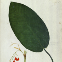 Leaf and fruit, watercolor botanical illustration for use in Okapi Group, Akeley Hall of African Mammals