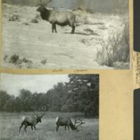 Wapiti deer photograph and clipping, Artiodactyla Deer folder