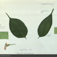 Leaves, botanical illustration with color notes for use in Mandrill Group, Akeley Hall of Mammals