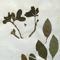 Plant specimens for use in White-Mantled Colobus Group, Akeley Hall of African Mammals