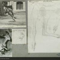Kangaroo, drawings and media clippings