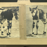 Okapi calf, photographs mounted to folder