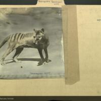Tasmanian wolf, photograph mounted to Marsupialia folder