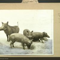 Taxidermied wart-hogs, photograph mounted to <em>Wart-hog Artiodactyla Swine</em> folder