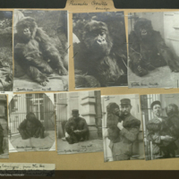 Gorilla with man, Zoological Garden, Antwerp, photographs mounted to folder