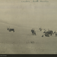 Herd of Caribou, photograph for use in Osborn Caribou Group, Hall of North American Mammals