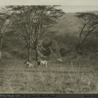 Lions, Africa, field photograph mounted to card, for use in Lion Group, Akeley Hall of African Mammals