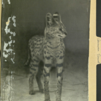 Standing serval, photograph mounted to Carnivora Serval folder