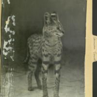 Standing serval, photograph mounted to Carnivora Serval folder