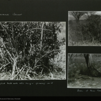 Botanical photographs for use in Water Hole Group, Akeley Hall of African Mammals