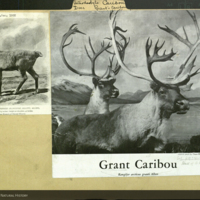 Grant caribou, clippings mounted to artiodactyla deer folder