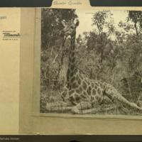 Sitting giraffe, photograph mounted to Artiodactyla Giraffe folder