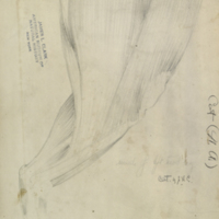 Musculature of left hind cat leg, drawing for Hall of North American Mammals