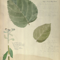 Plants, botanical illustration for use in Sloth Bear Group, Hall of Asian Mammals