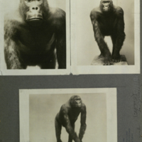 Gorilla, photographs mounted to card, for use in Gorilla Group, Akeley Hall of African Mammals