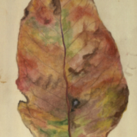 Red leaf, botanical illustration for use in Gorilla Group, Akeley Hall of African Mammals