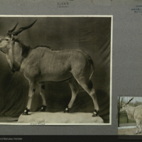 Eland, photograph and clipping, mounted to card, for use in Giant Eland Group, Akeley Hall of African Mammals