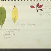 Dwarf willow leaves, botanical illustration